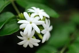 Thai Jasmine